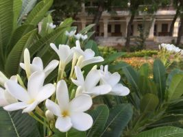 champa thriving in spite of scorching temperatures 600