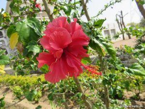 Chinese hibiscus  silent glory