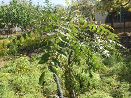 Curry leaf tree known locally as mitta neem