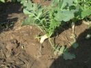 daycon-radish-season-locally-known-as-mooli