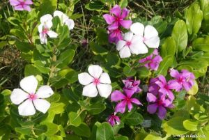 Diabetes medicine - known locally as sadabahar or Madagascar periwinkle
