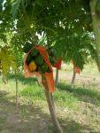 Papayas finally starting to ripen