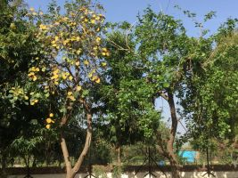 gunda trees - on right leaves were manually removed