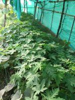 happy papaya babies due for transplanting 600