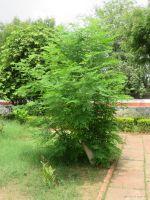 Healthy and bushy moringa