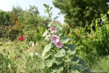 Hollyhocks that survived the summer