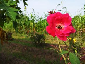 indian rose or deshi gulab 600