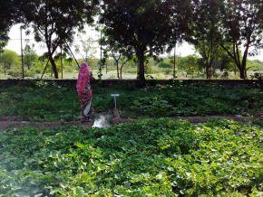 irrigating the gourd garden 600