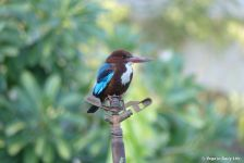 kingfisher in Shiv Bagh