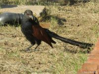 Koyal or Indian cuckoo in Shiv Bagh