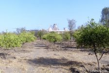 lemon orchard cleared of bushes and small trees