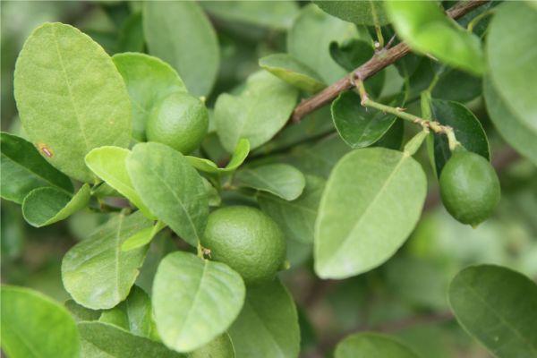 lemons slowly ripening.small