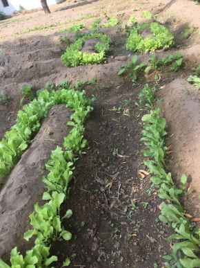 lettuce should be ready by first week of December 600