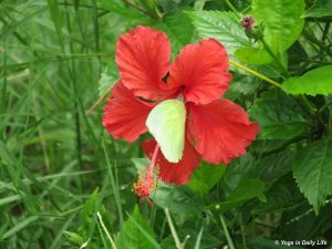 Monsoon butterfly enjoying hibiscus flower