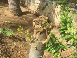 moringa tree after annual pollarding