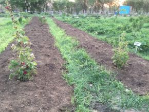 mulching on top of nut sedge between papaya seedling channels 1200