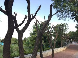 neem trees after heavy pruning 1200