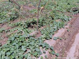Neem wood fixed for ridge gourd vines to climb
