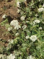 Pretty flowers of Bishops weed otherwise known as ajwain