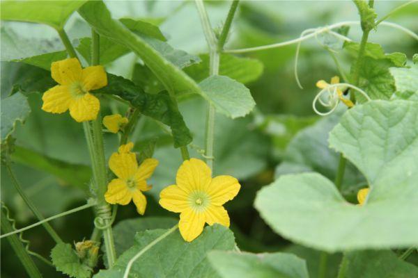 pretty flowers of tarkakri - Armenian cucumber.small
