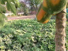 pumpkin patch   European seeds 600