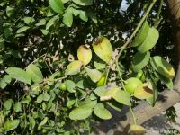 Signs of heat stress on edges of lemon tree leaves