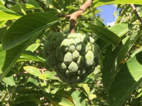 sitaphal ripening on the tree 1200