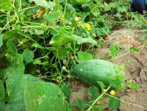 snap melon almost ready 600