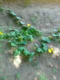 snap melon flowering