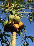 some fungal virus on all papaya trees this season 1200