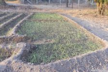 Spring onion seedlings transplanted mid month