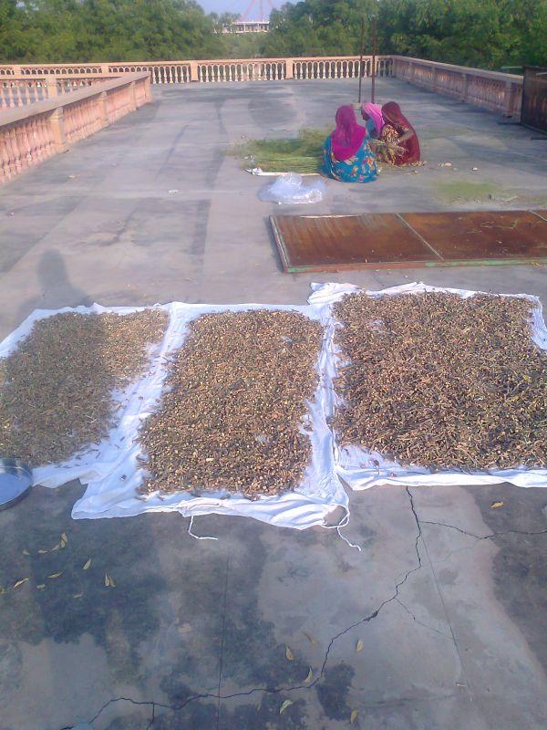 still drying the guduchi stems
