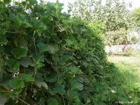Summer lauki vines