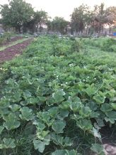 summer lauki vines produced 100g of gourd to date 1200