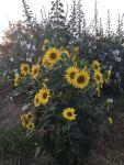 sunflowers 1200