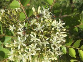Sweet flowers of curry leaf tree