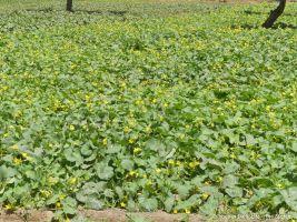 The best cucumber patch in Jadan history