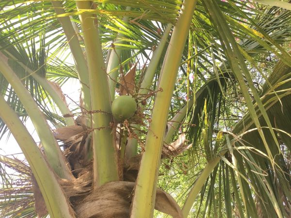 the first coconut to appear on this 11 year old tree in Shiv Bagh