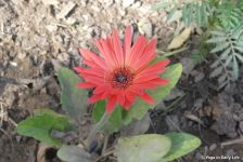 The humble gerbera flower