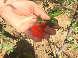 The medicinal and attractive flower of the pomegranite tree
