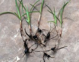 The tuber of nut grass