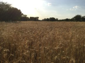 update on the wheat field 1200
