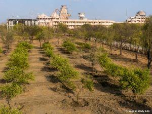Upper lemon orchard prepared for flood irrigation