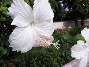 white chinese shoe flower or hibiscus 600