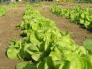 wonderful-butter-lettuce