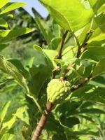 Young custard apple tree fruiting