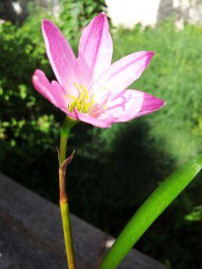 zephyranthes rosea 600